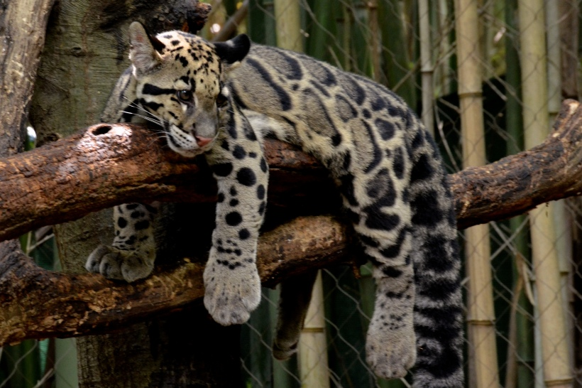 Clouded leopard hangs around